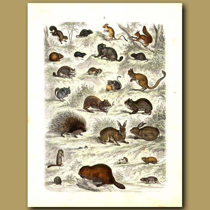 Antique print. Rodents: Rabbits, Porcupine, Rats, Guinea Pig Etc