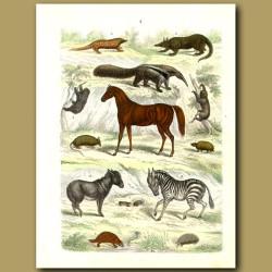 Mammals: Horse, Zebra, Anteaters, Armadilloes, Platypus, Sloth Etc