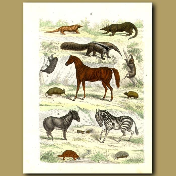 Antique print. Mammals: Horse, Zebra, Anteaters, Armadilloes, Platypus, Sloth Etc