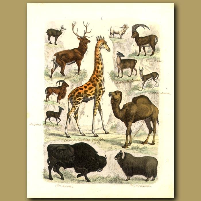 Antique print. Mammals: Giraffe, Camel, Deer, Bison Etc