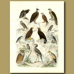 Birds Of Prey: Vultures, Eagles, Owls, Falcons, Secretary Bird Etc