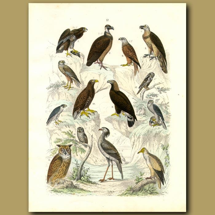 Antique print. Birds Of Prey: Vultures, Eagles, Owls, Falcons, Secretary Bird Etc