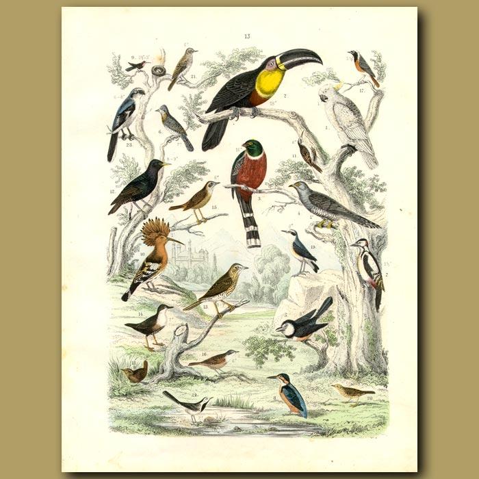 Antique print. Birds: Toucan, Mexican Trogon, Kingfisher, Woodpecker, Cockatiel Etc