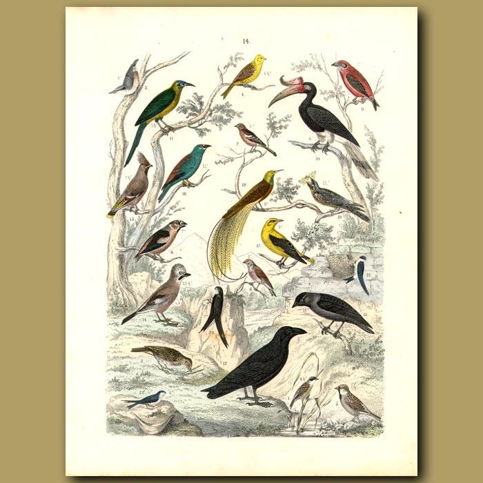 Antique print. Exotic Birds: Rhinoceros Hornbill, New Guinea Bird Of Paradise, Finches Etc