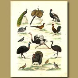 Birds: Peacock, Ostrich, Turkey, Cassowary, Pheasant Etc