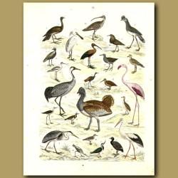 Wading Birds: Spoonbill, Pelican Etc