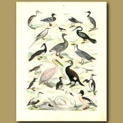 Water Birds: Swan, Pelican, Ducks, Penguins Etc