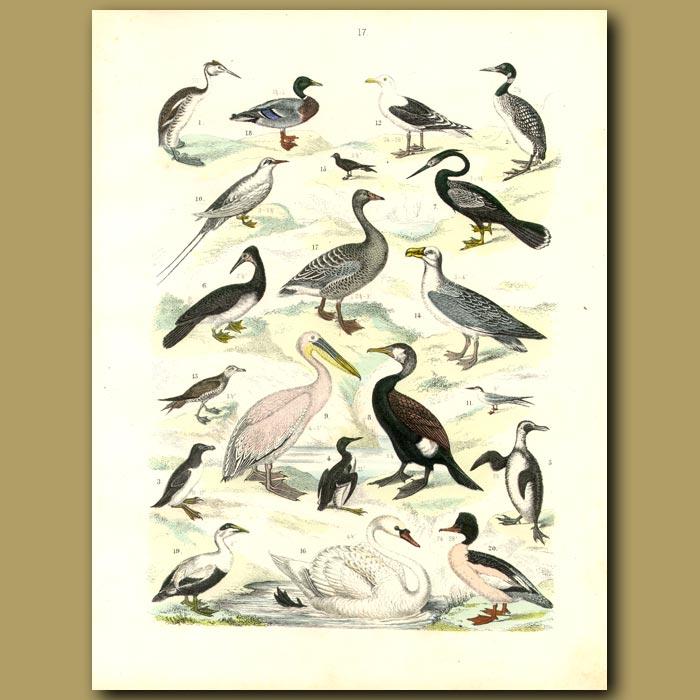 Antique print. Water Birds: Swan, Pelican, Ducks, Penguins Etc