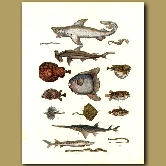 Antique print. Fish: Sharks, Sun Fish, Rays, Puffer Fish, Trigger Fish, Sword Fish Etc