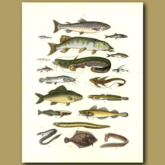 Antique print. Fish: Trout, Salmon, Cat Fish, Eels, Flying Fish Etc