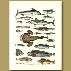 Fish: Sword Fish, Angler Fish, Tuna Etc