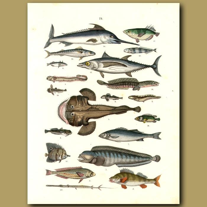 Antique print. Fish: Sword Fish, Angler Fish, Tuna Etc