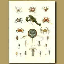 Crustaceans: Lobster, Crabs, Shrimps