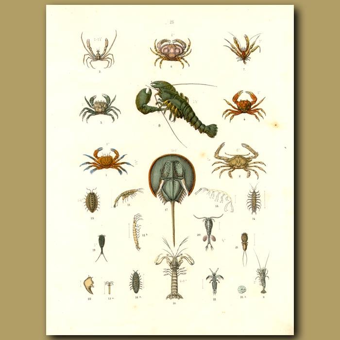 Antique print. Crustaceans: Lobster, Crabs, Shrimps