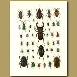 Beetles: Stag Beetle, Water Beetle Etc