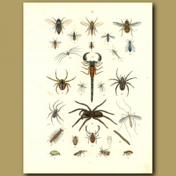 Insects: Scorpion, Spiders, Flies, Bees Etc