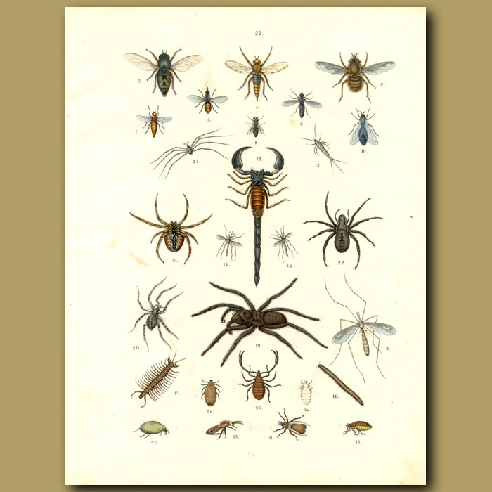 Antique print. Insects: Scorpion, Spiders, Flies, Bees Etc