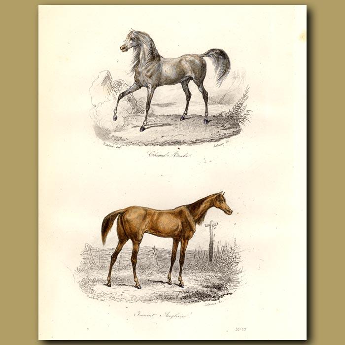 Antique print. Arab and English horses