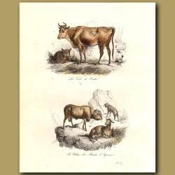 Cow and calf, and mountain sheep