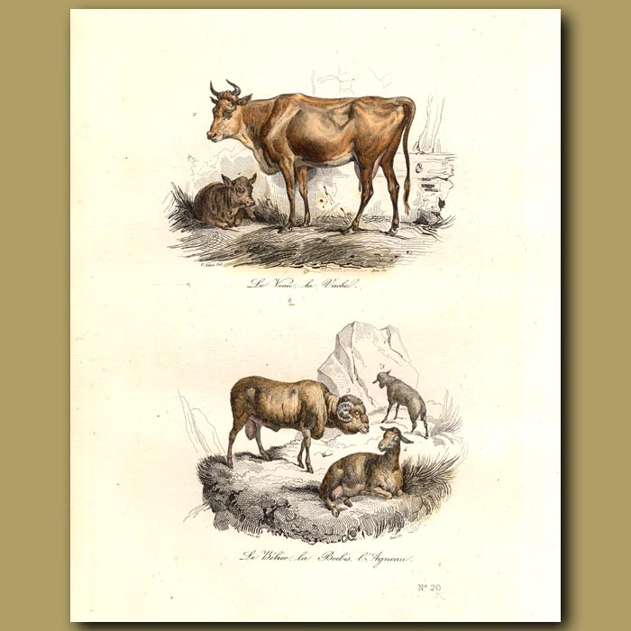Antique print. Cow and calf, and mountain sheep