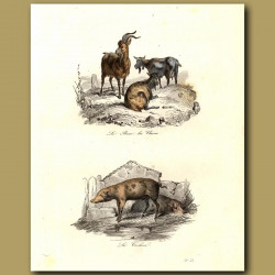 Goats and pig