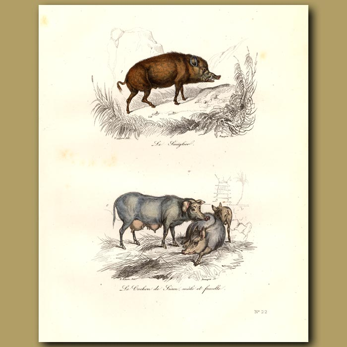 Antique print. Wild boar and Siam pigs