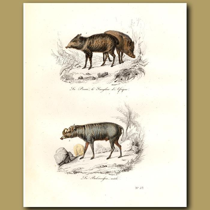 Antique print. Peccary and Babiroussa
