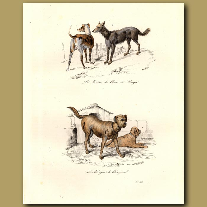 Antique print. Sheep dogs and guard dogs