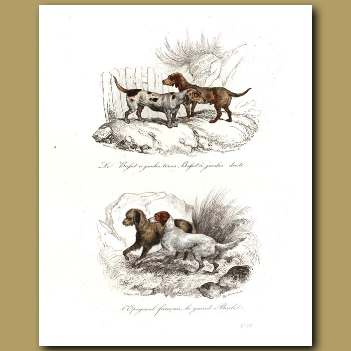 Antique print. Basset Hounds and Spaniels