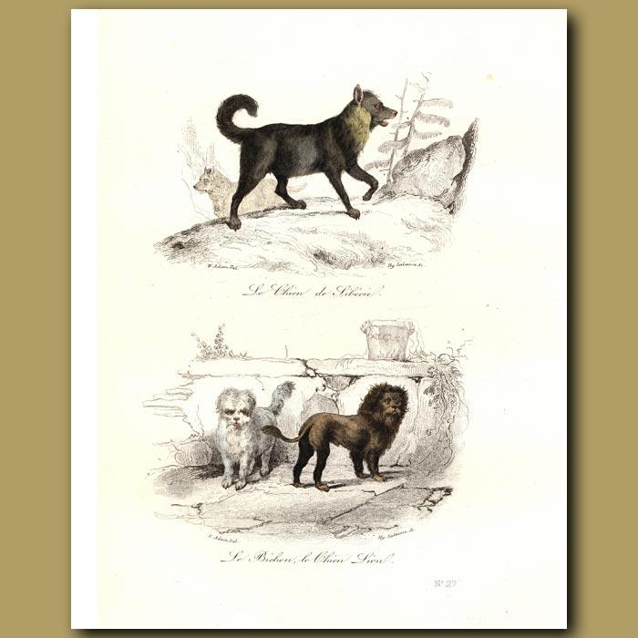 Antique print. Siberian Husky, Bichon and Pekingese