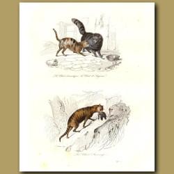 Domestic cat, angora cat, wild cat