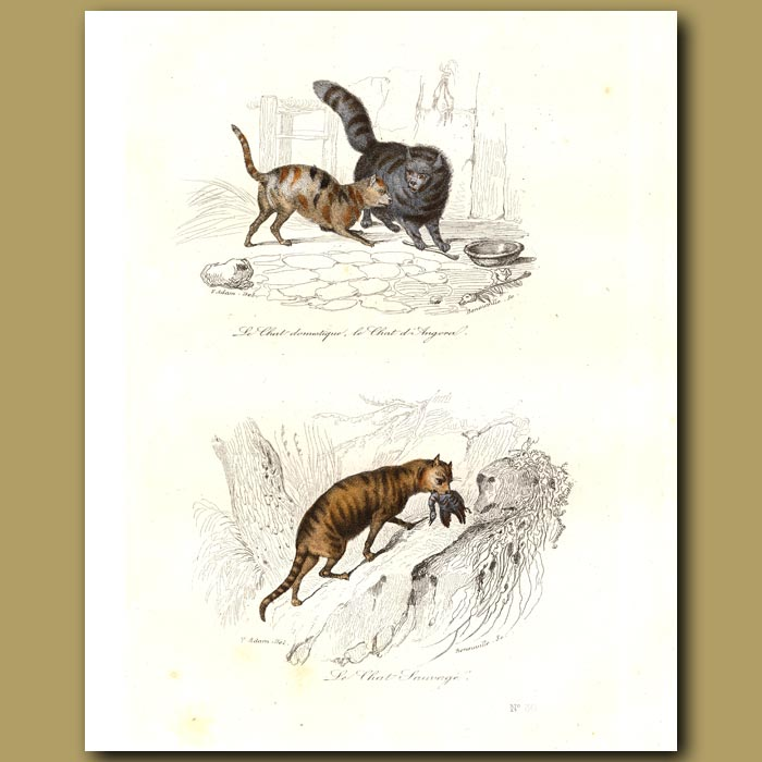 Antique print. Domestic cat, angora cat, wild cat