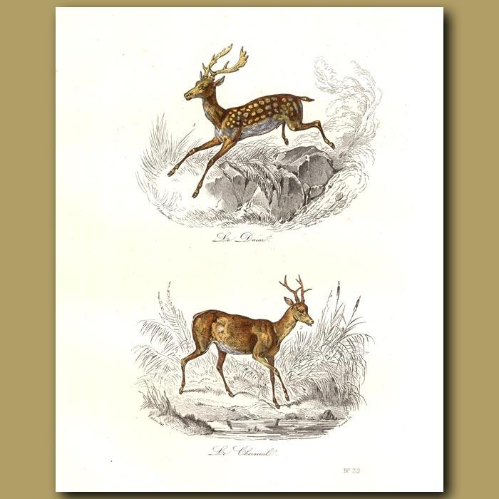 Antique print. Wild deer