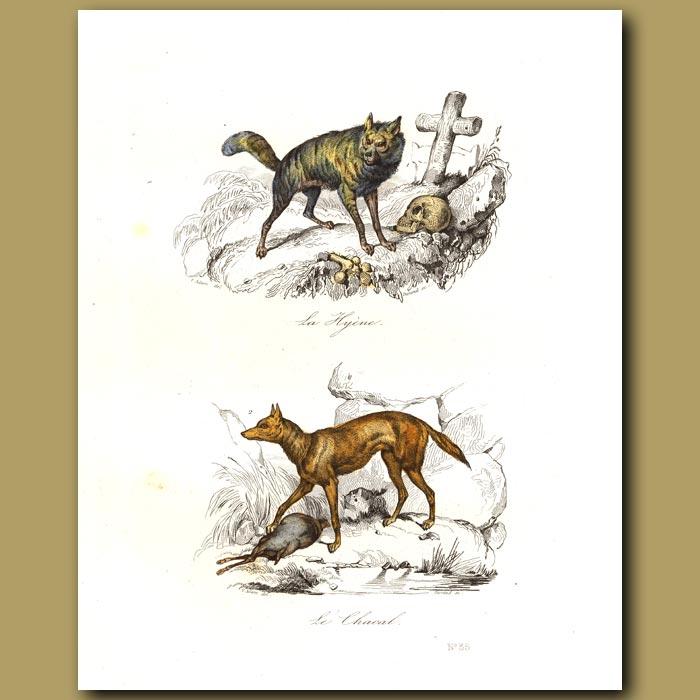 Antique print. Jackal and Hyaena