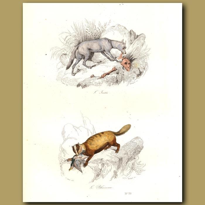 Antique print. Isatis and Badger