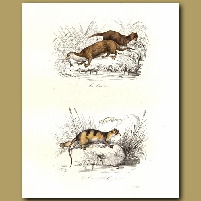 Antique print. Otters and Otter of Guyana