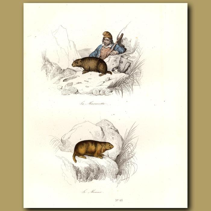 Antique print. Marmotte and Monax