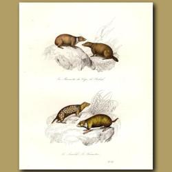 Marmotte, Souslik and Hamster