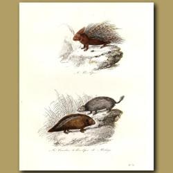 Porcupine and Couandu (Agouti)