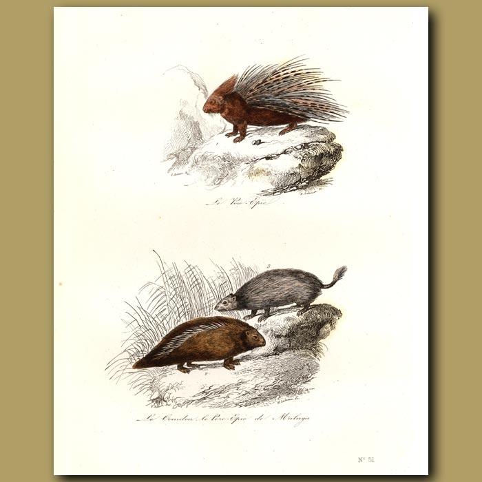 Antique print. Porcupine and Couandu (Agouti)