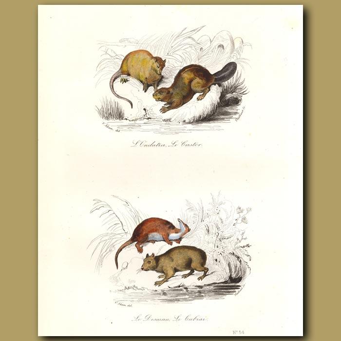 Antique print. Beaver and similar animals