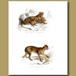 Lioness and cubs, Cougar
