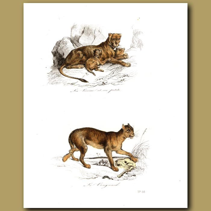 Antique print. Lioness and cubs, Cougar