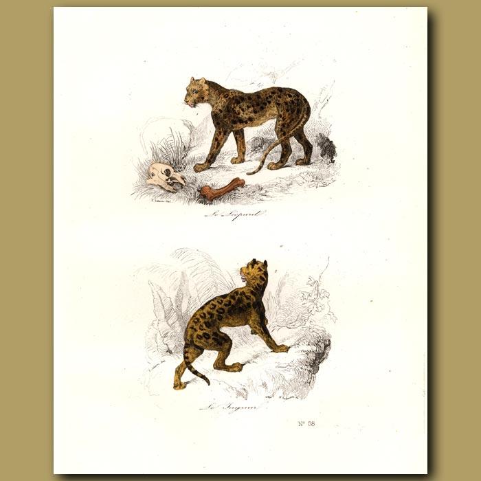 Antique print. Leopard and Jaguar