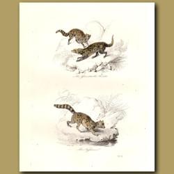 Genette, Civet and Fossa