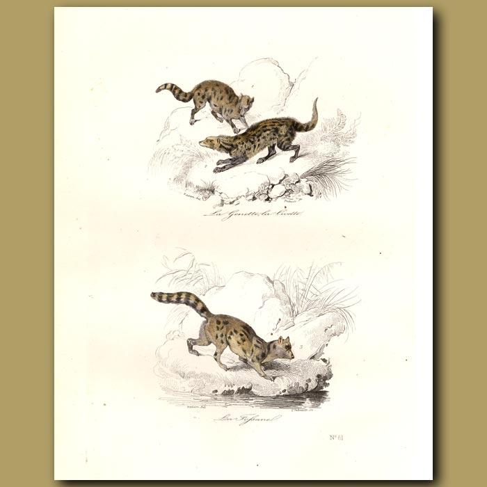 Antique print. Genette, Civet and Fossa