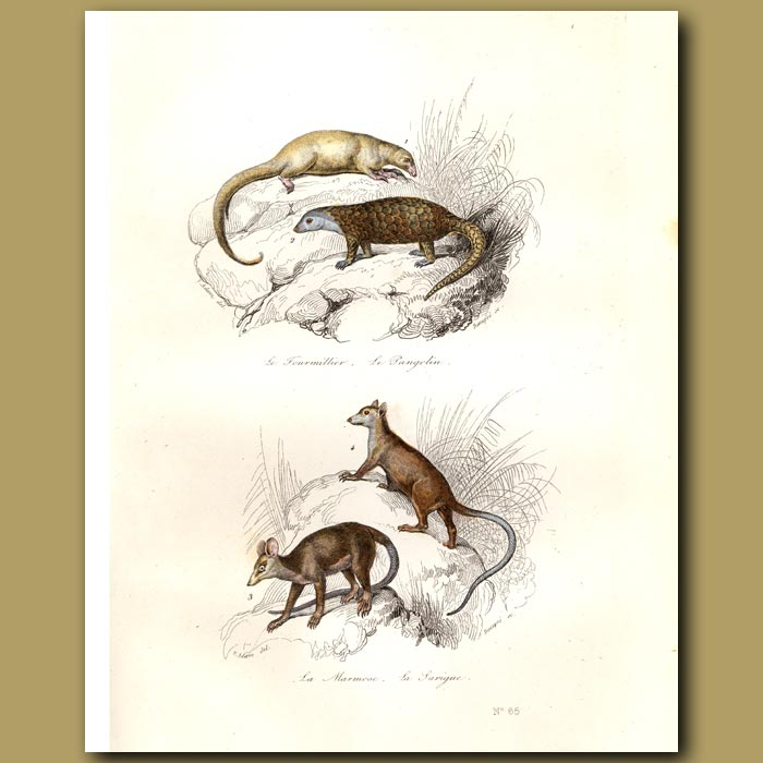 Antique print. Pangolin and Opossums