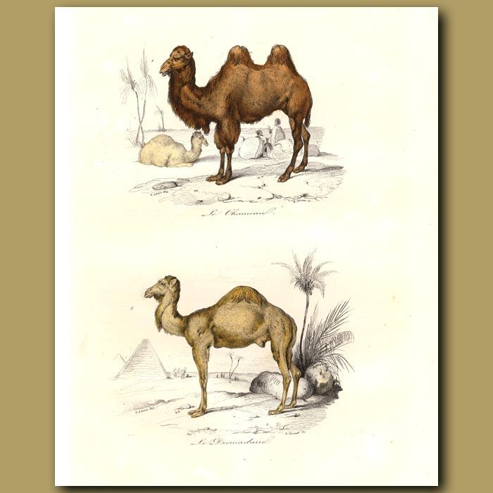 Antique print. Camels