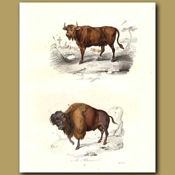 Antique print. Bison and Buffalo