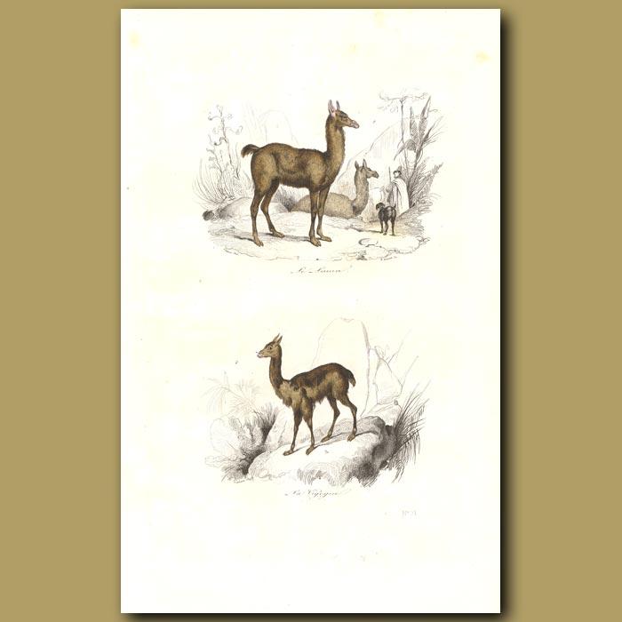 Antique print. Llama and Vicona
